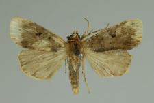 Diarsia brunnea (Denis & Schiffermüller, 1775)