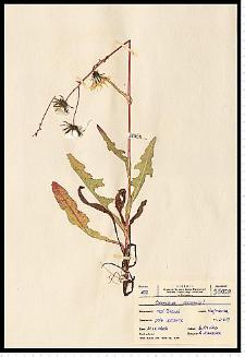 Sonchus arvensis L.