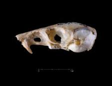 Perognathus spinatus