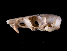 Perognathus sp.
