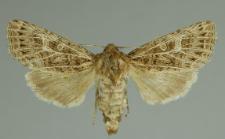 Tholera decimalis (Poda, 1761)