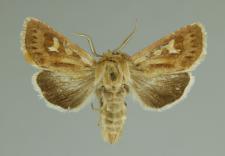 Cerapteryx graminis (Linnaeus, 1758)