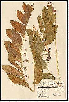 Polygonatum multiflorum (L.) All.