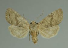 Orthosia gracilis (Denis & Schiffermüller, 1775)