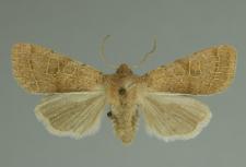 Orthosia cerasi (Fabricius, 1775)