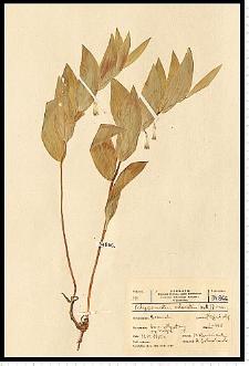 Polygonatum odoratum (Mill.) Druce
