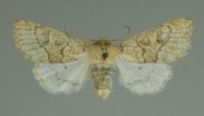 Orthosia miniosa (Denis & Schiffermüller, 1775)