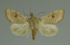 Orthosia cruda (Denis & Schiffermüller, 1775)