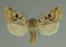 Orthosia gothica (Linnaeus, 1758)