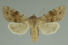 Orthosia incerta (Hufnagel, 1766)