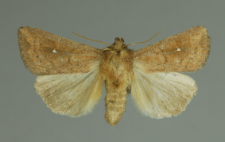 Mythimna albipuncta (Denis & Schiffermüller, 1775)
