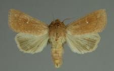 Mythimna ferrago (Fabricius, 1787)