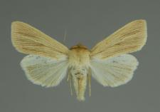 Mythimna pallens (Linnaeus, 1758)
