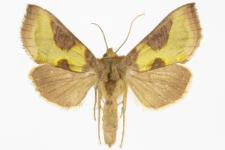 Diachrysia stenochrysis