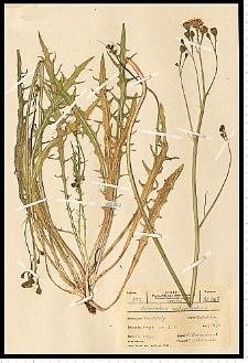 Leontodon autumnalis L.