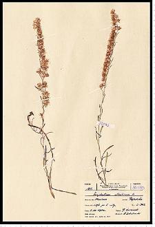 Gnaphalium sylvaticum L.