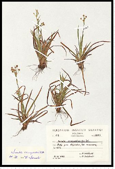 Luzula campestris (L.) DC.