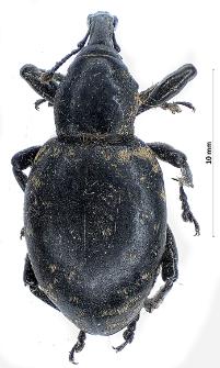 Liparus germanus (Linnaeus, 1758)