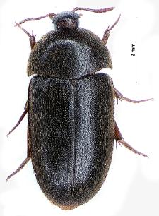 Eustrophus dermestoides (Fabricius, 1792)