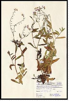 Myosotis palustris (L.) L. em. Rchb.