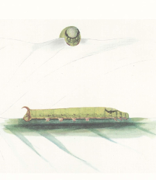 The Tree-viper-like larva of the Oriental Hawkmoth, Theretra s. silhetensis, Walker