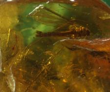 Dicranomyia (D) sinuata