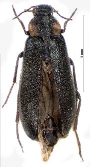 Phryganophilus auritus V.I. Motschulsky, 1845