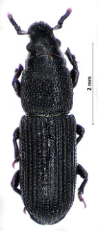 Rhyncolus ater (Linnaeus, 1758)