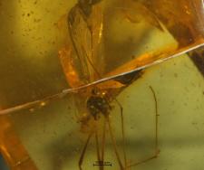 Limoniidae (Limnophilinae)
