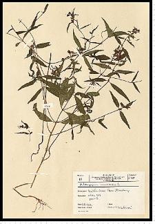 Melampyrum nemorosum L.