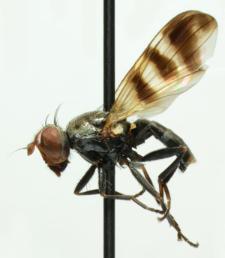 Ceroxys urticae (Linnaeus, 1758)