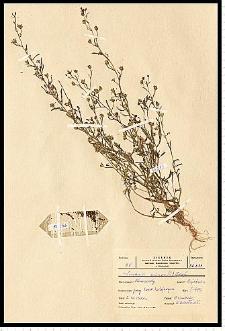 Chaenorhinum minus (L.) Lange