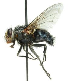 Calliphora vicina Robineau-Desvoidy, 1830