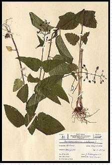 Scrophularia nodosa L.