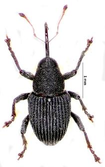 Archarius pyrrhoceras (Marsham, 1802)
