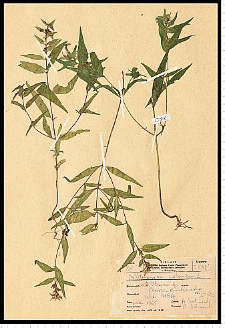 Melampyrum polonicum (P. Beauv.) Soó