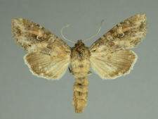 Polia bombycina (Hufnagel, 1766)