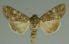 Mamestra brassicae (Linnaeus, 1758)