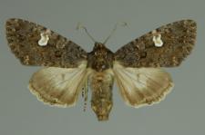 Melanchra persicariae (Linnaeus, 1761)