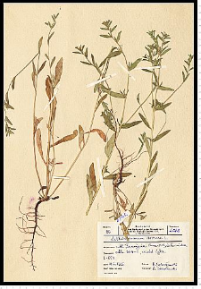 Lithospermum arvense L.