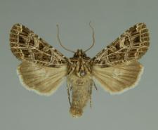 Sideridis reticulata (Goeze, 1781)