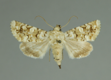 Hadena irregularis (Hufnagel, 1766)