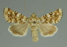 Hadena irregularis (Hufnagel, 1766)