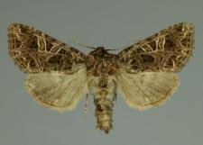 Sideridis rivularis (Fabricius, 1775)