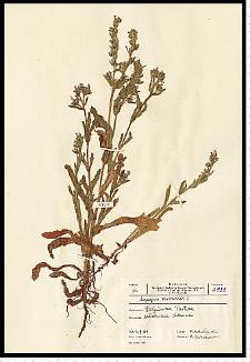 Anchusa arvensis (L.) M. Bieb.