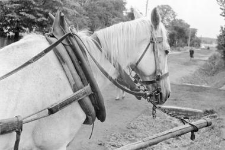Horse harnessed with a collar