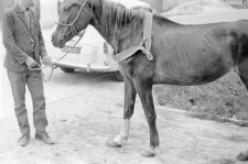 Horse with a breast harness of