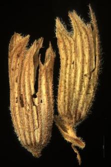 Nepeta grandiflora M.B.