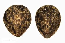 Galeopsis pubescens Bess.