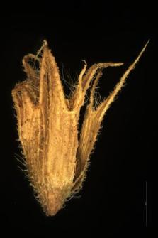 Stachys arvensis L.